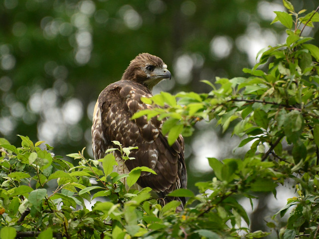 GT Red-Tail Fledgling - 4968