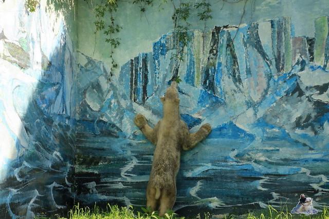 Eisbär Fiete im Zoo Sosto 29.05.2017 182