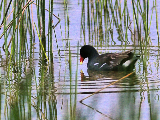 Common Gallinule 2-20170605