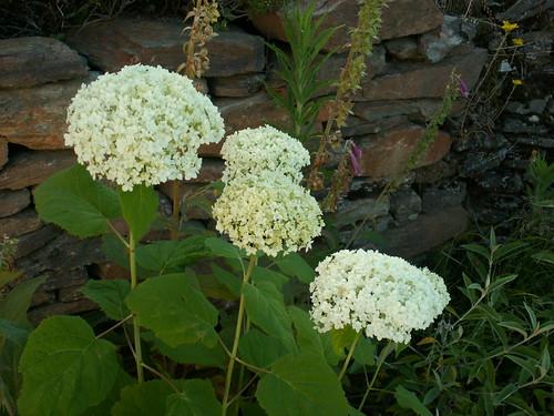 ces quelques fleurs de nos jardins - Page 3 35375379735_a575c72be4