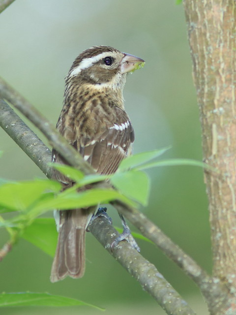 Rose-breasted Grosbeak female 20170518