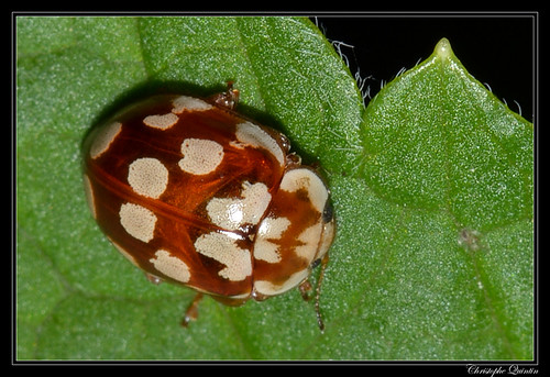 Coccinelle des Pins (Myrrha octodecimguttata)