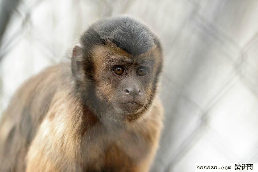capuchin-monkey.jpg.838x0_q80