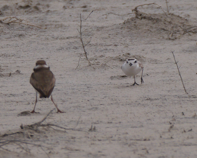Snowy Plover Chasing Wilson's Plover - 6