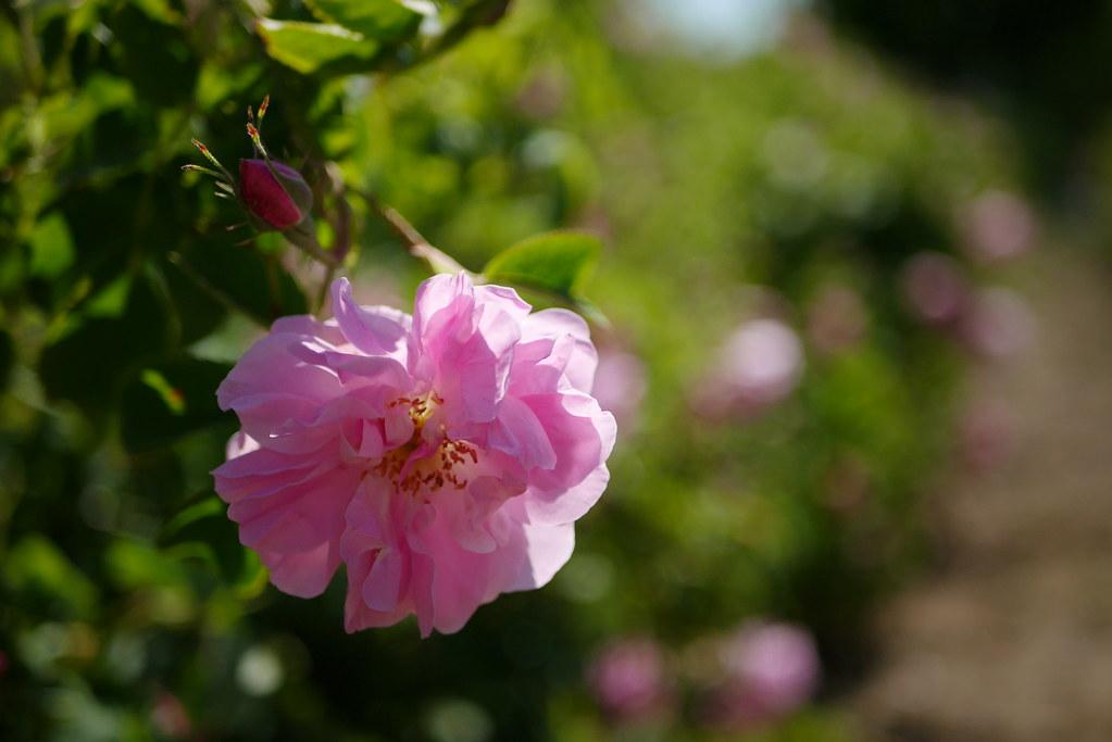 Isparta 大馬士革玫瑰