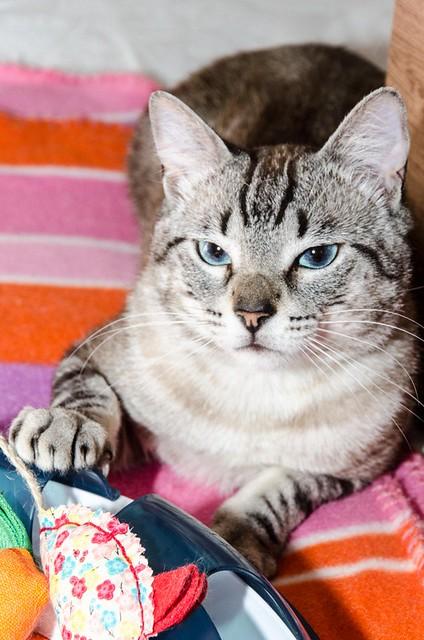Tango, gato Siamés Tabby de colita corta esterilizado muy guapo, nacido en Enero´16, en adopción. Valencia. ADOPTADO. 34579753134_19a364a89c_z