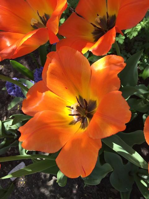 Tulips Wide Open in the Heat