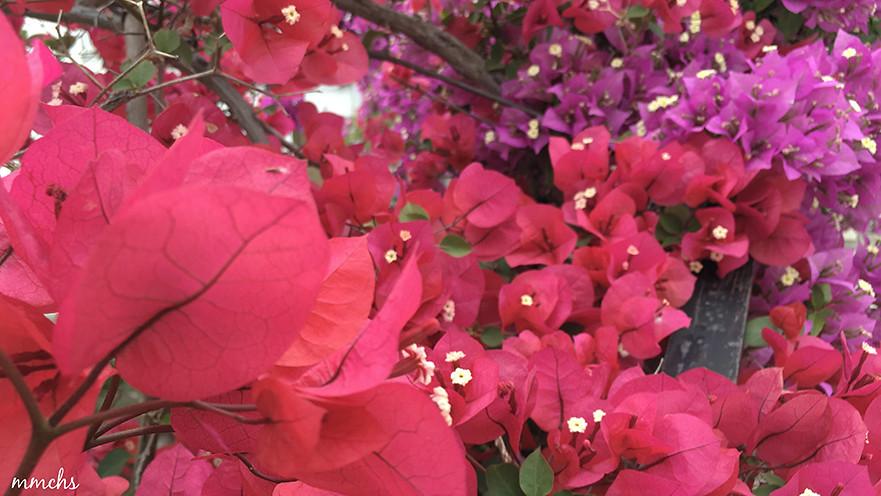 buganvilla roja y morada