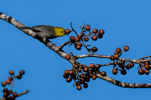 Cuba: Yellow-headed Warbler crop