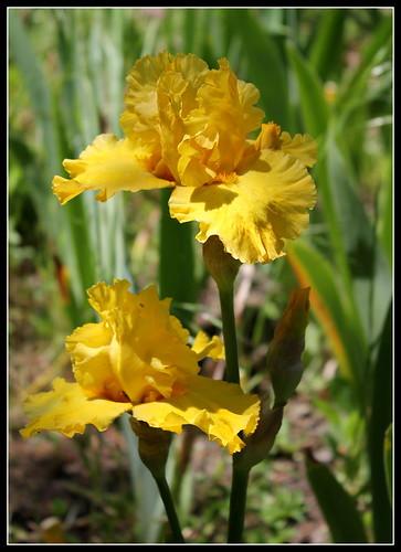 Iris 'Pure As Gold' - W. Maryott 1989 34838230901_ca1d8aef5e