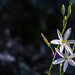 Anthericum liliago | Alins | Vall Ferrera