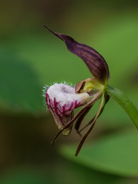 Ram's Head orchid