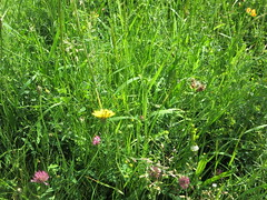 meadow closeup