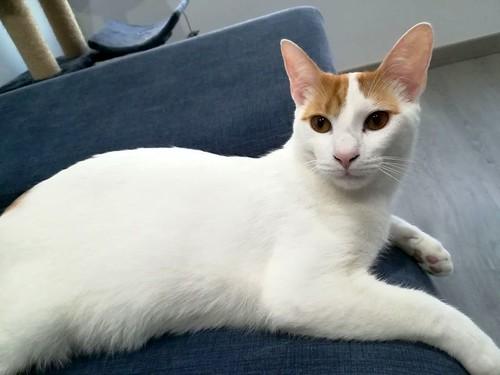 Gary, gatito blanco y naranja cruce Van Turco esterilizado muy activo nacido en Julio´16, en adopción. Valencia. ADOPTADO. 34935070796_04e774f411