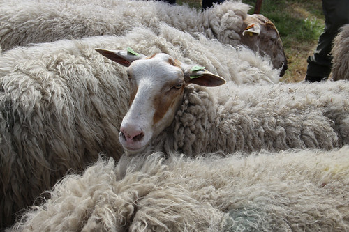 pettable sheep