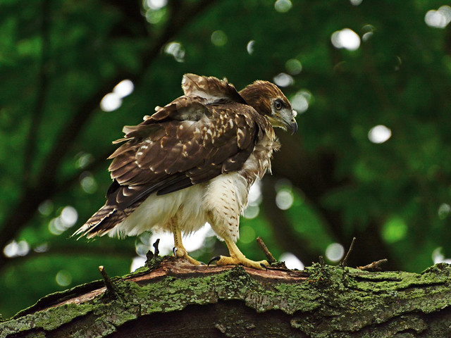 GT Red-Tail Fledgling - 5059