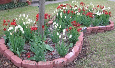 tulip_bed_slant_2009