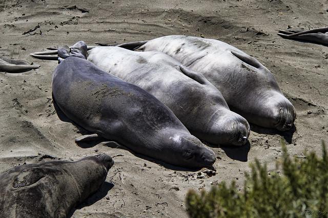 Piedras Blancas elephant seals