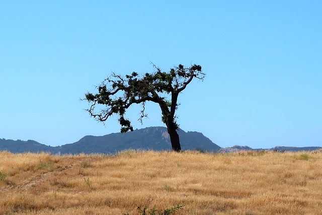 lone oak happier after the rains