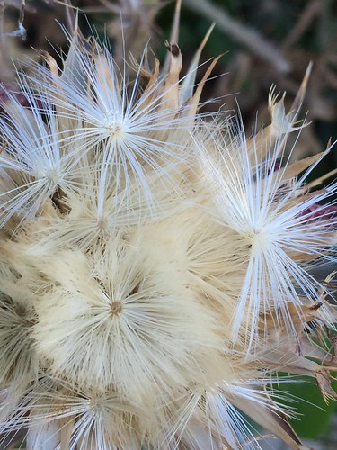 20170611_4696-thistle-head | by abelpc_5355