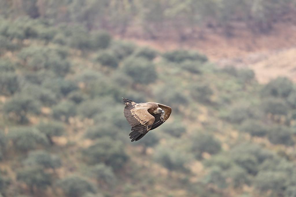 Griffon Vulture Gyps fulvus