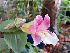 Mega Monkey Flower