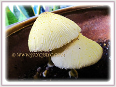 Leucocoprinus birnbaumii (Flowerpot Parasol, Plantpot Dapperling, Yellow Pleated Parasol, Yellow Houseplant Mushroom, Lemon-yellow Lepiota) is a captivating saprotrophic fungi, 6 Aug 2013