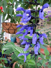 Black and bloom salvia