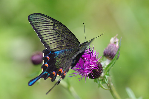 Papilio bianor | by Mushimizu