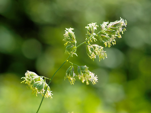 Blooming grass | by PHOTOGRAPHY Toporowski