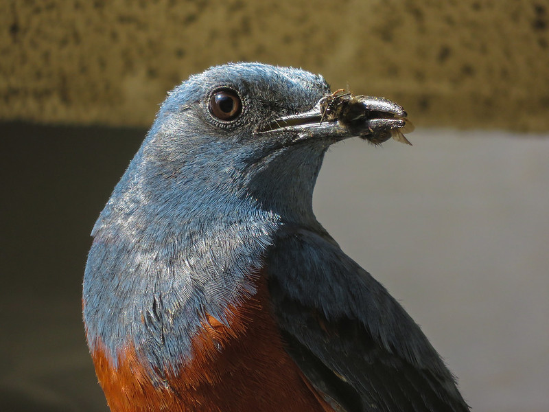 Blue rock thrush with а prey
