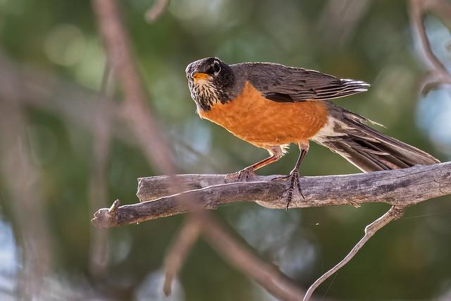 Robin-15-7D2-060417