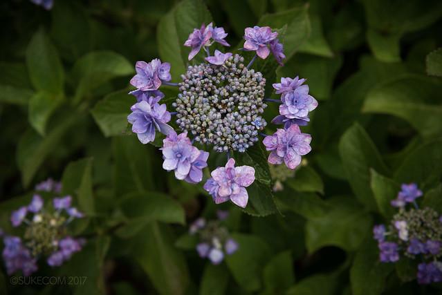 紫陽花には動より静が似合うと思う