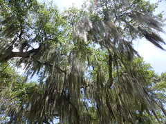 Spanish Moss in Audubon Park