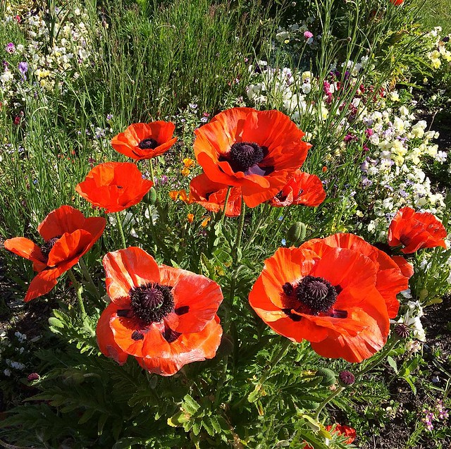 Giant poppies!