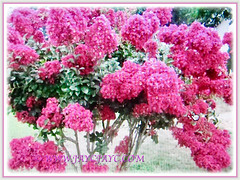 Lagerstroemia (Crape Myrtle, Crepe Myrtle/Flower, Japanese/Indian Crape Myrtle) flowering in abundance, 1 June 2017