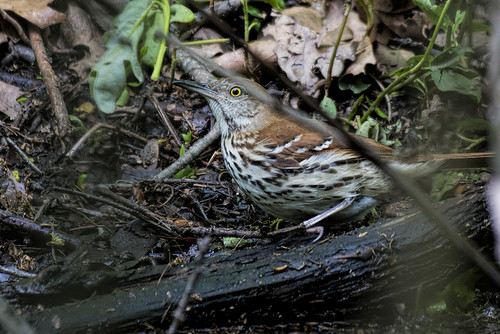 Forest Park: Brown Thrasher