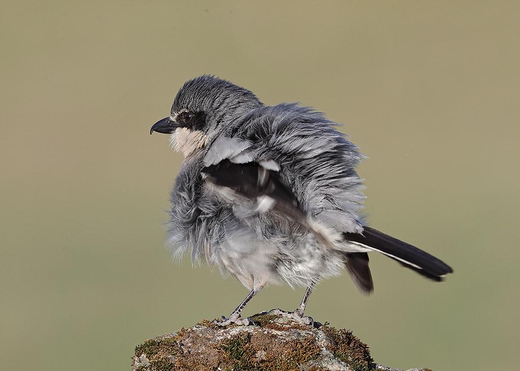 Southern Grey Shrike  Lanius meridionalis