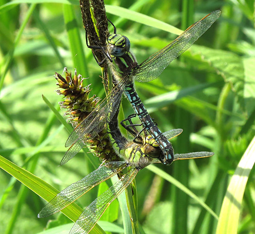Hairy Dragonfly Brachytron pratense Tophill Low NR, East Yorkshire May 2017