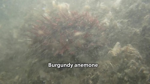 Living on the edge: Burgundy anemone (Bunodosoma goanense)