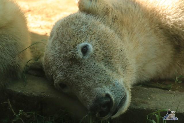 Eisbär Fiete im Sosto Zoo 28.05.2017 176