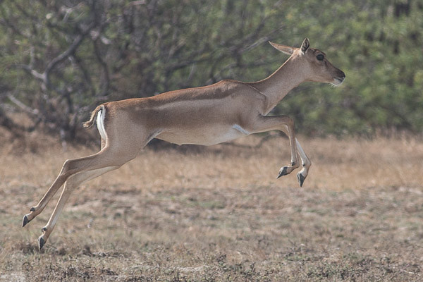 Black Buck  female