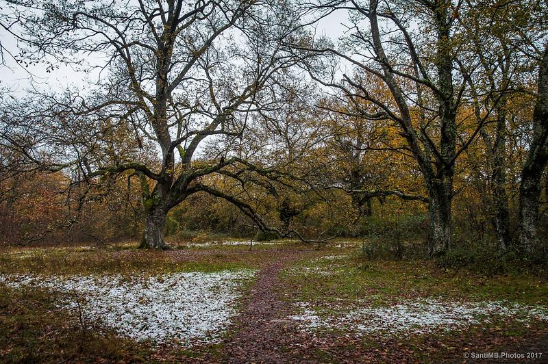 Roble centenario en el Bosque de Orgi