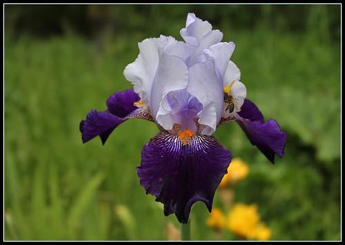 Iris 'Clair Obscur' - J-C. Jacob 2010 34617299690_1513eddbf0