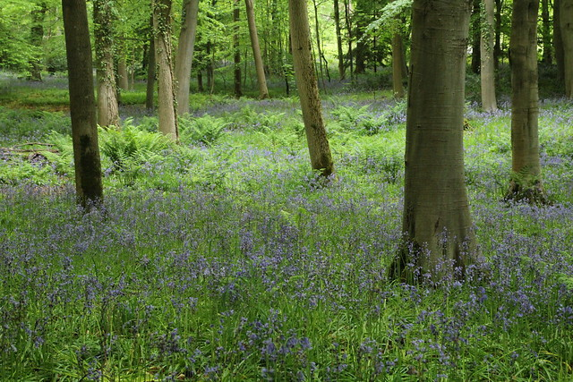 Dalkeith bluebells