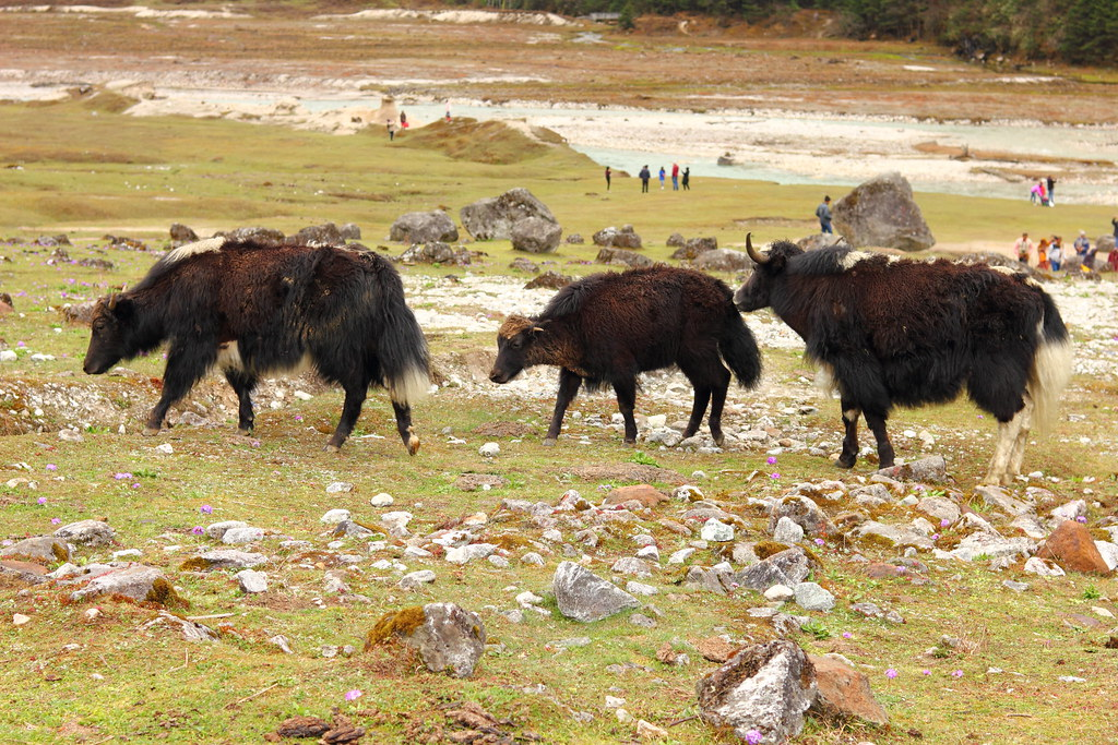 Even more Yaks at Yumthang Valley