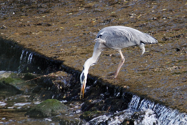 Heron searching