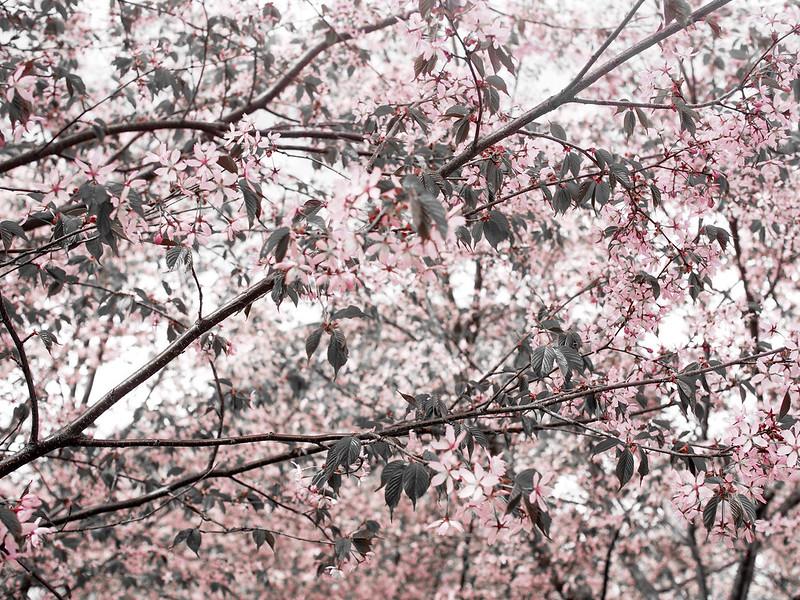 P5206929.jpgCherryBlossomFlowersHelsinki,P5206932.jpgLightPinkCherryTreesHelsinkiCherryBlossom, cherry blossom, cherry tree bloom, kirsikkapuut, kirsikkapuisto, suomi, finland, helsinki, roihuvuori, kevät, toukokuu, may, spring, photography, valokuvaus, photos, harmaa, gray, light pink, vaaleanpunainen, olympus, camera, kamera, cherry park, flowers, kukat, maisema, view, kirsikankukat, cherry flowers, kirsikkapuut,
