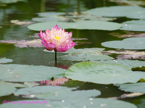 Lotus 0602017-3