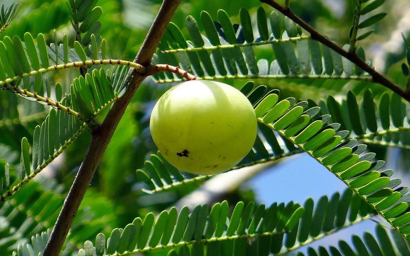Health Benefits Of Indian Gooseberry ( Amla )